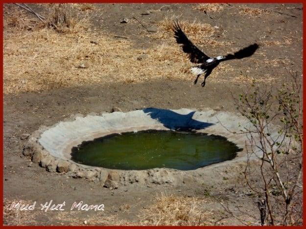 Fish-Eagle-in-Flight