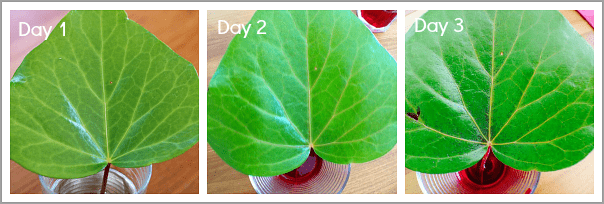 Comparison of leaf over 3 days