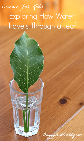 Science Experiment for Kids: How Water Travels Through Leaves~ Buggy and Buddy